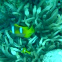 Anemonenfische mit Anemone, September 2002