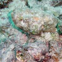 Fetzen-Scorpionfisch, September 2002