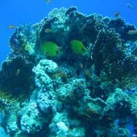 Masken-Falterfisch und Feuerkorallen, Mai 2007
