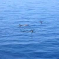 Delphine vom Boot aus, März 2005