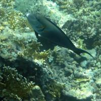 Arabischer Doktorfisch, Mai 2004