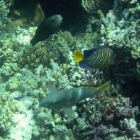 Papageienfische und ein Pfauen-Kaiserfisch, Mai 2004