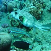 Weißfleckenkugelfisch, Mai 2007