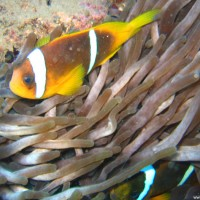 Anemonenfisch mit Anemone, Mai 2007