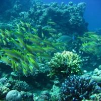 Süßlippen im Riff, Mai 2007
