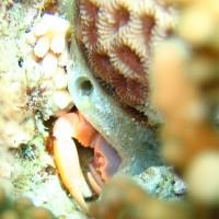 Korallenkrabbe, Mai 2007