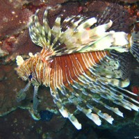 Rotfeuerfisch, Mai 2007