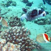 Maskenkugelfisch mit Rotfleckfalterfischen, Mai 2007