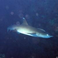 Weißspitzen-Riffhai, März 2005