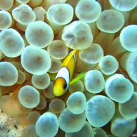 Clownsfisch mit Anemone, Mai 2007