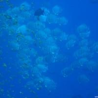 Fledermausfische, Mai 2007