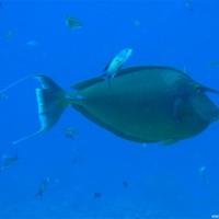 Nasendoktorfisch, Mai 2007