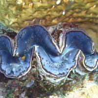 Mördermuschel, Mai 2007
