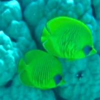 Masken-Falterfische, Mai 2004