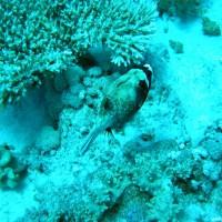 Maskenkugelfisch, Mai 2004