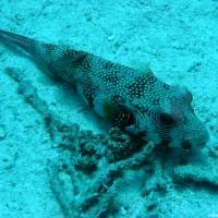 Weißfleckenkurgelfisch, Mai 2004