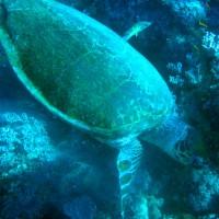 Suppenschildkröte, März 2005