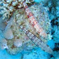 Eidechsenfische, Mai 2007