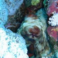 Oktopus, Mai 2007