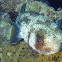Igelfisch, März 2005