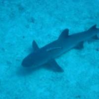 Weißspitzenriffhai, Oktober 2006