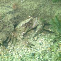 Krabbe, November 2014