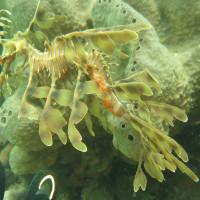Leafy Seadragon mit zwei Fingern als Größenvergleich, November 2014