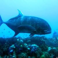 Eine große Makrele, September 2006