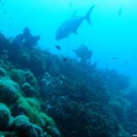 Viele Korallen und eine große Makrele, September 2006