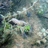 Süßwasserkrebs, Juli 2002