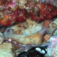 Ein Oktopus guckt aus seinem Versteck, August 2005