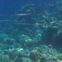 Trompetenfische, September 2005