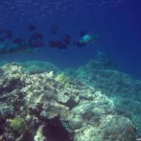 Felsformationen mit Buckelkopf-Papageien- und Doktorfischen, September 2005