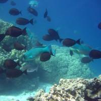 Doktorfische und Buckelkopf-Papageienfische, September 2005