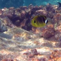 Doktor- und Falterfische, September 2005