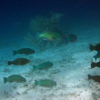 Pagageienfische, September 2005
