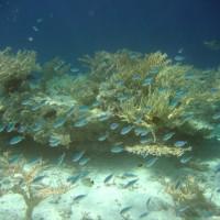 Jungfische vor Acropora cerealis, September 2005