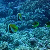 Masken-Wimpelfische (links) und Mondsichel-Falterfische (rechts), September 2005