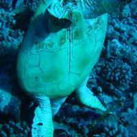 Karettschildkröte kopfüber im Loch beim Fressen, September 2005