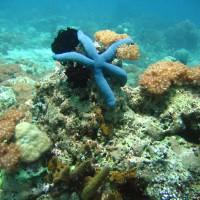 Blauer Seestern und Xenienkolonien, September 2007