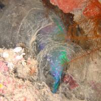schlafender Papageifisch, September 2007