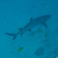 Weißspitzenriffhai auf ~40 Metern, September 2007