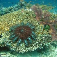 Der Dornenkronenseestern bei seinem zerstörerischen Tun, September 2007
