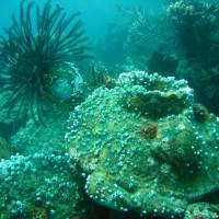 Seescheidenkolonie mit Haarstern, September 2007