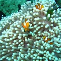 Anemonenfische mit Anemone, September 2007