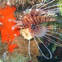 Rotfeuerfisch, September 2007