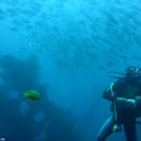 Taucher unter Makrelenschwarm, September 2007