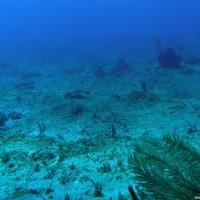 Grauer Stachelrochen über Korallenwüste, Januar 2007