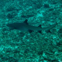 Weißspitzenriffhai, September 2002