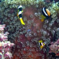 Clarks-Anemonenfische, September 2002